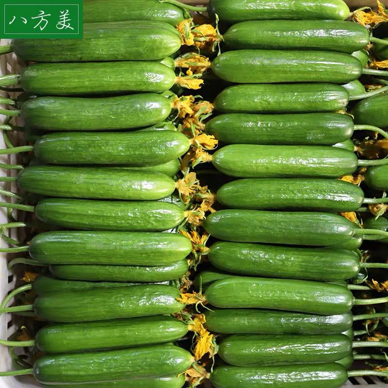 八方美 寿光新鲜水果小黄瓜 净重5斤