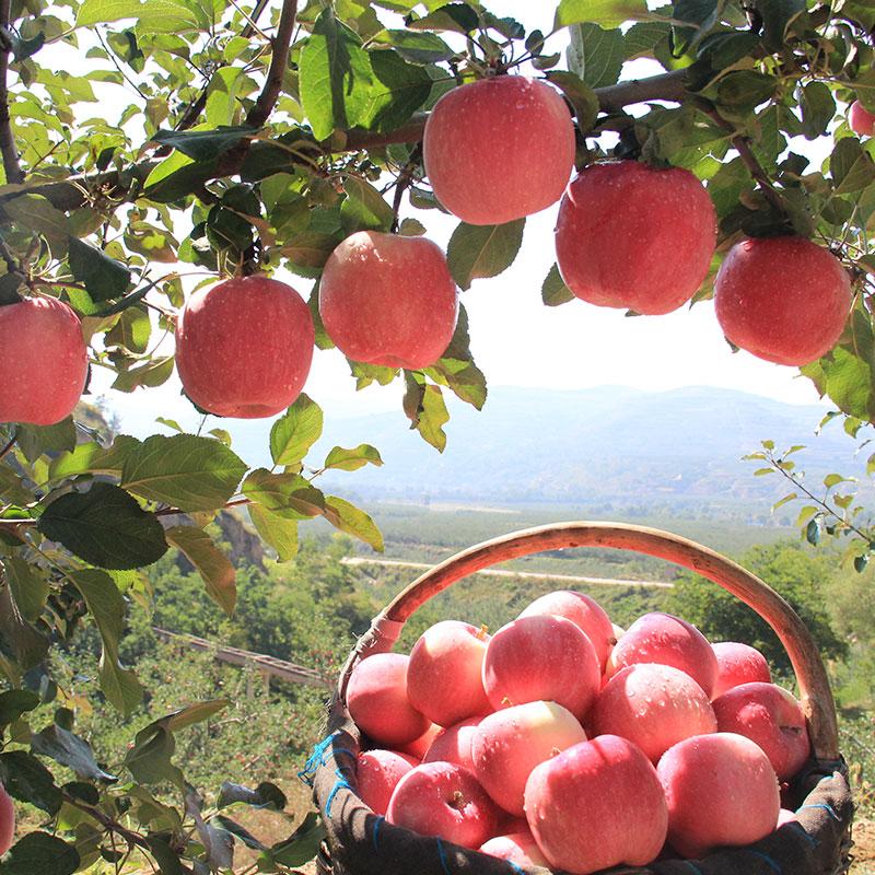 红六福静宁红富士苹果70-80#果带箱约10斤甘肃生鲜水果顺丰包邮