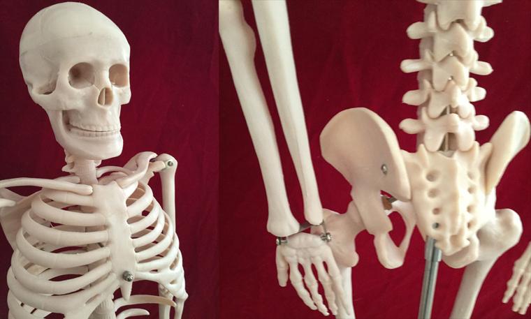 这款人体骨骼带神经椎间盘模型是高级的、高质量的硬脊椎模型。这款贵重的教学模型显示脊椎、神经根、脊椎动脉、分椎间盘、用绿色加深的胸部软骨、可分成3件的头颅和手足。人体骨骼带神经模型构造包含成人的200块骨头,四肢可弯曲到任何自然的状态,除手足外全部用关节连接。这款受欢迎的案头模型适用于康复理疗和运动医学专业使用。