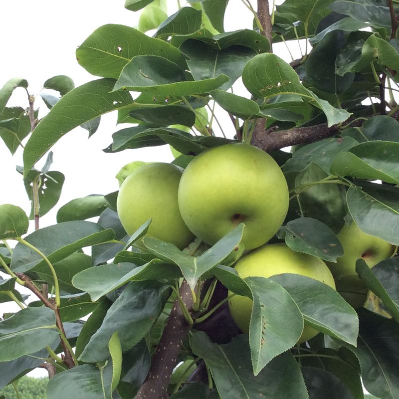 随州大洪山花果海现摘新鲜水果梨子贡梨雪梨香梨新鲜水果