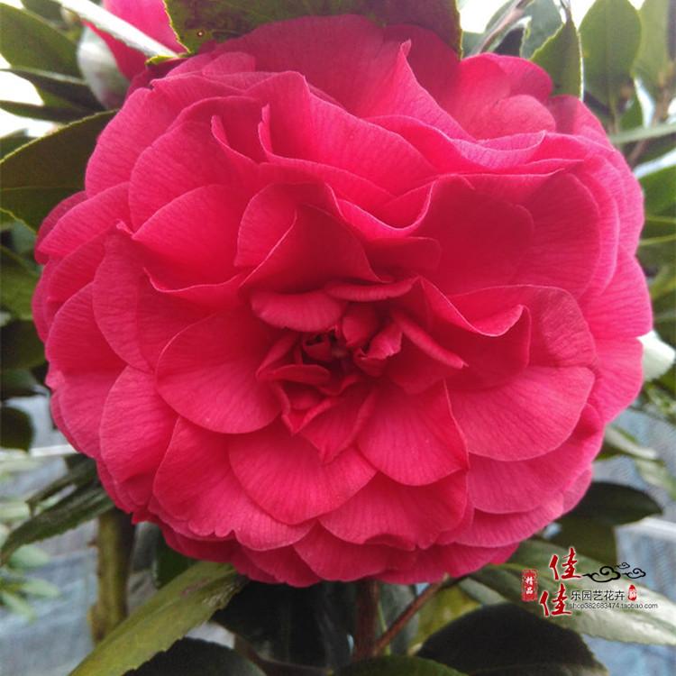 【青叶贝拉山茶花】大玫瑰花苗带花苞盆栽 庭院阳台绿植花卉精品图片