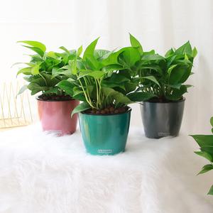 绿萝盆栽大组合绿植室内水培植物花卉净化空气观叶植物去甲醛
