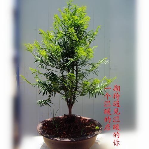 正宗云南红豆杉树苗 造型独特提根红豆杉盆景 盆景盆栽同城包邮图片