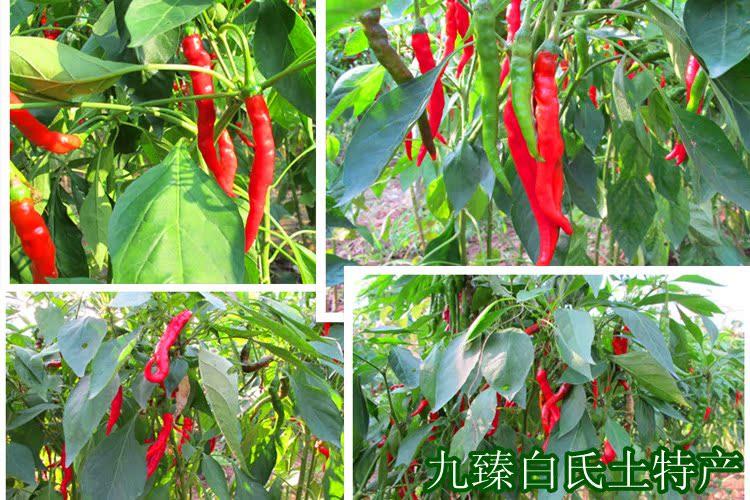 地里生长的辣椒:椒身细长,皱纹均匀,颜色鲜红.
