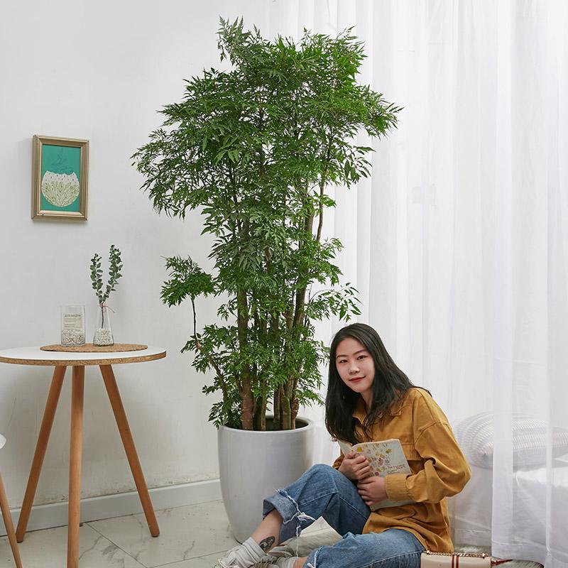 福禄寿大盆栽福禄桐羽叶盆景室内大型植物乔迁开张送礼绿植花卉