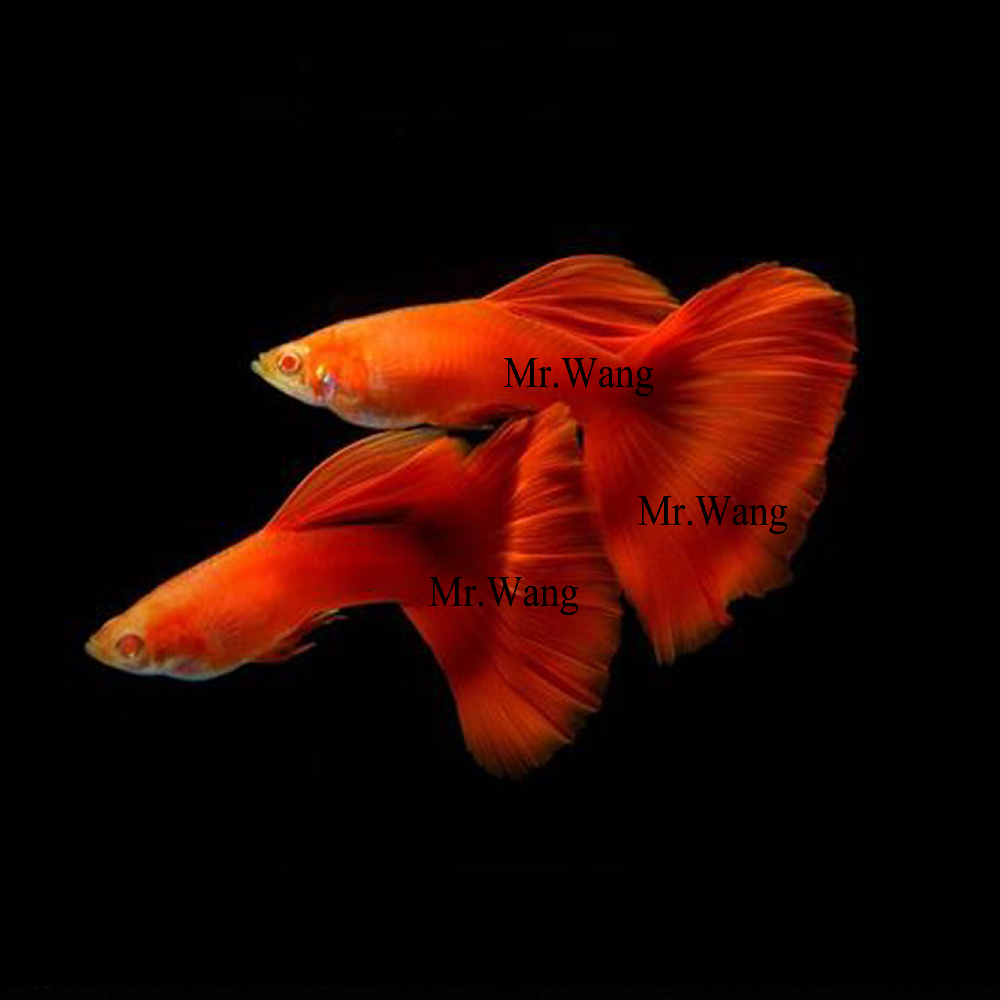 Hard back blood red white guppies ornamental fish tropical fish ...