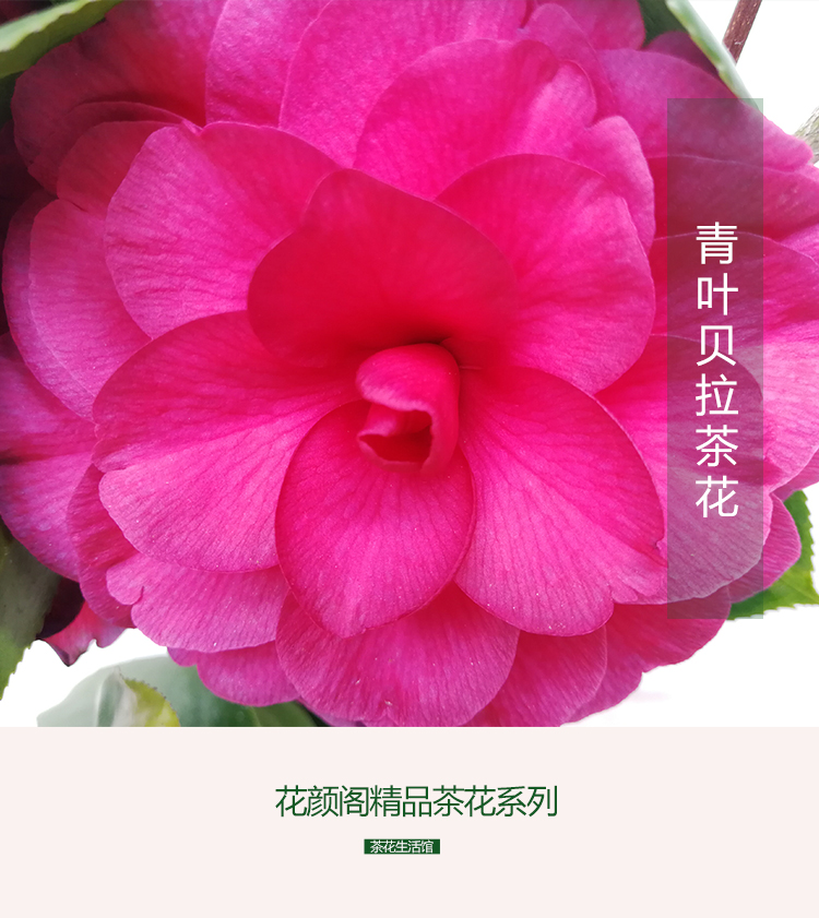 青叶贝拉大玫瑰 茶花 绿植花卉盆栽阳台客厅庭院植物 正版包邮_7折图片