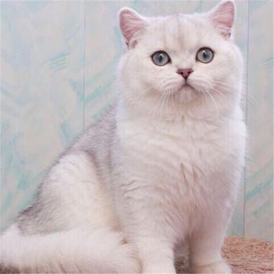 纯种英短美短折耳蓝猫蓝白猫金银渐层加菲猫双色布偶猫暹罗猫活体