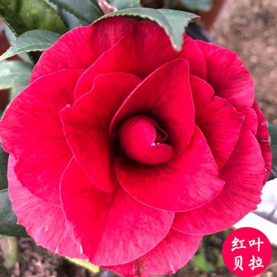 珍稀茶花品种-纯色红叶贝拉-黑贝拉花大花卉盆栽植物