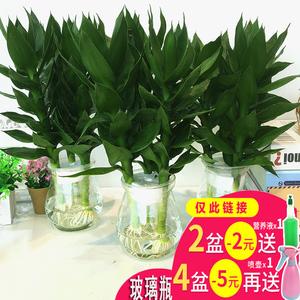 绿萝盆栽观音富贵竹水培...