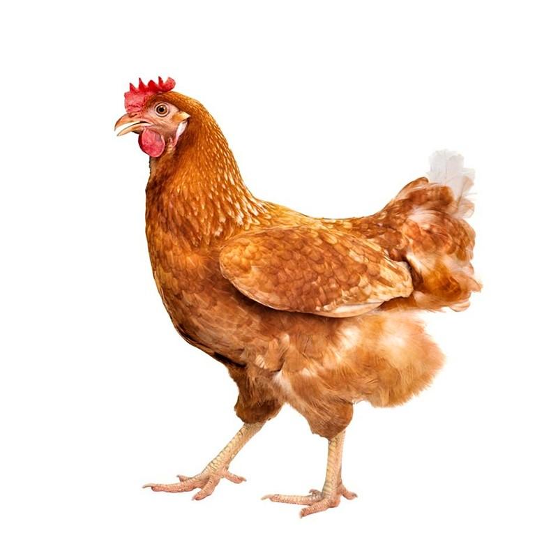 买一送一三黄鸡农村散养仔鸡童子鸡芙蓉鸡走地鸡活杀鸡新鲜鸡土鸡