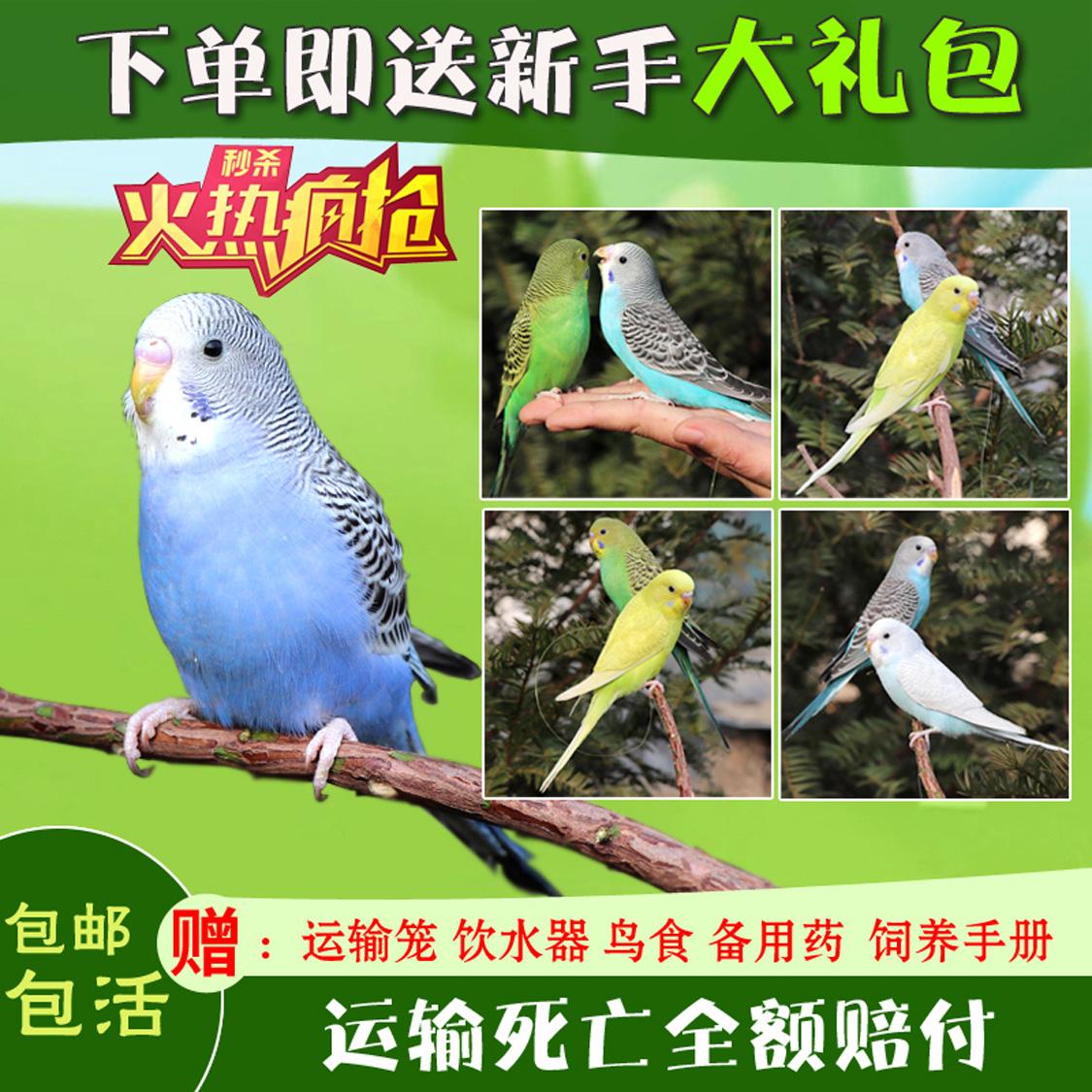 鹦鹉活鸟鸟活物玄风云斑鹦鹉中小型会说话鹦鹉活体物宠物虎皮鹦鹉