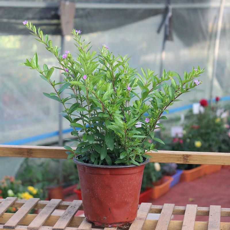 冬天开花澳洲松红梅松雪梅带花苞耐寒植物盆栽好养花三色梅花腊梅