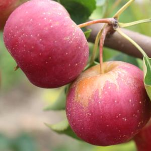 龙丰果东北沙果新鲜大秋果苹果现摘发货海棠果酸甜孕妇水果5斤装