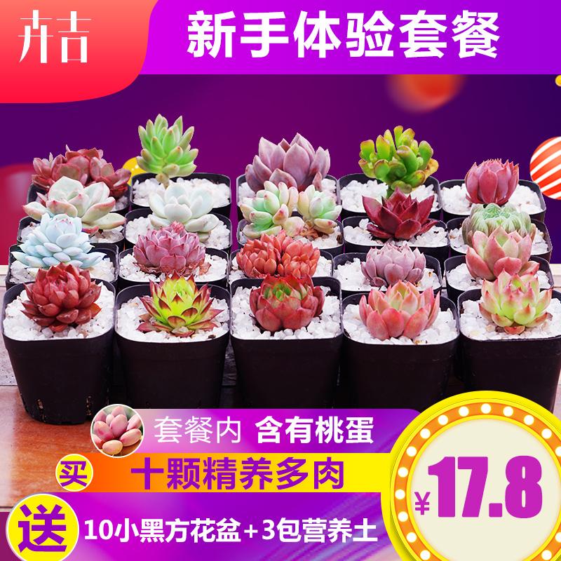 卉吉 多肉植物组合盆栽(10棵多肉+10个盆+3包土)