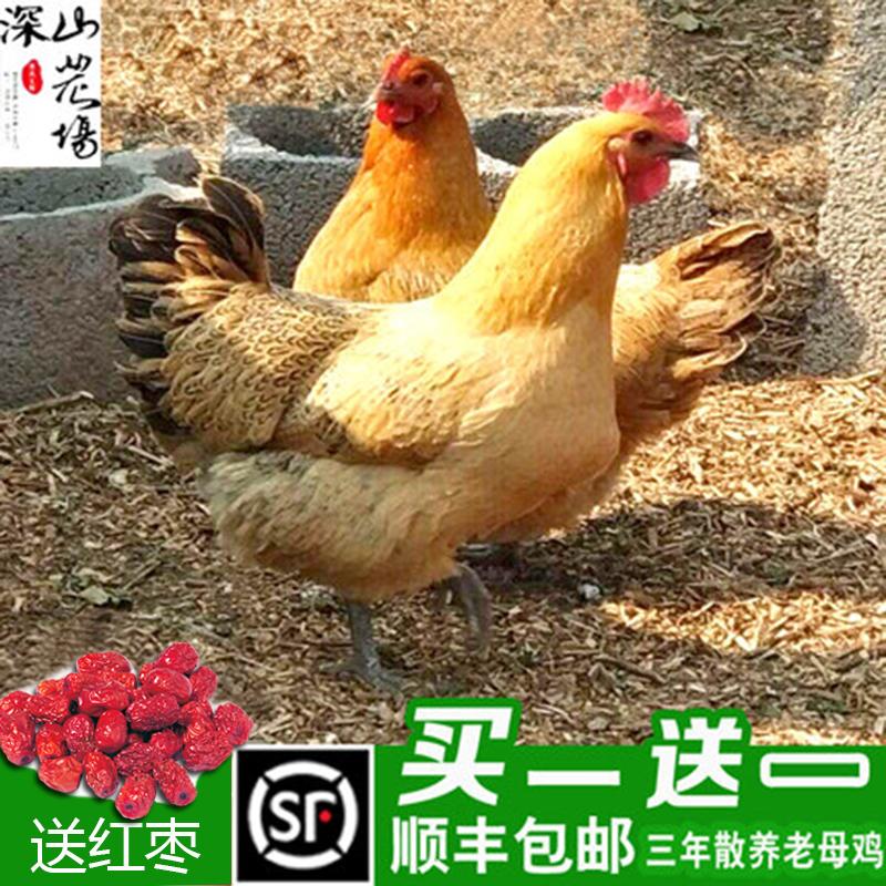 三年正宗农村散养特大土鸡老母鸡农家公鸡乌鸡下蛋草鸡笨鸡走地鸡