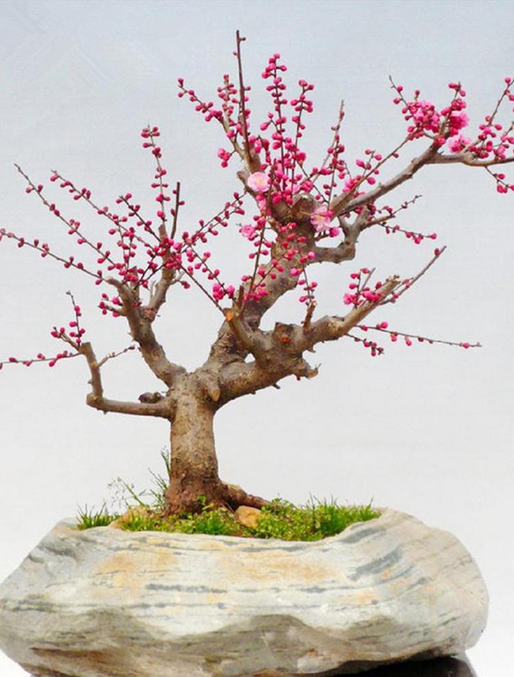 梅花 红梅树桩盆景花木绿植花卉 乌梅 腊梅 榆叶梅 游龙梅