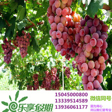 Wanbao grape picking 130