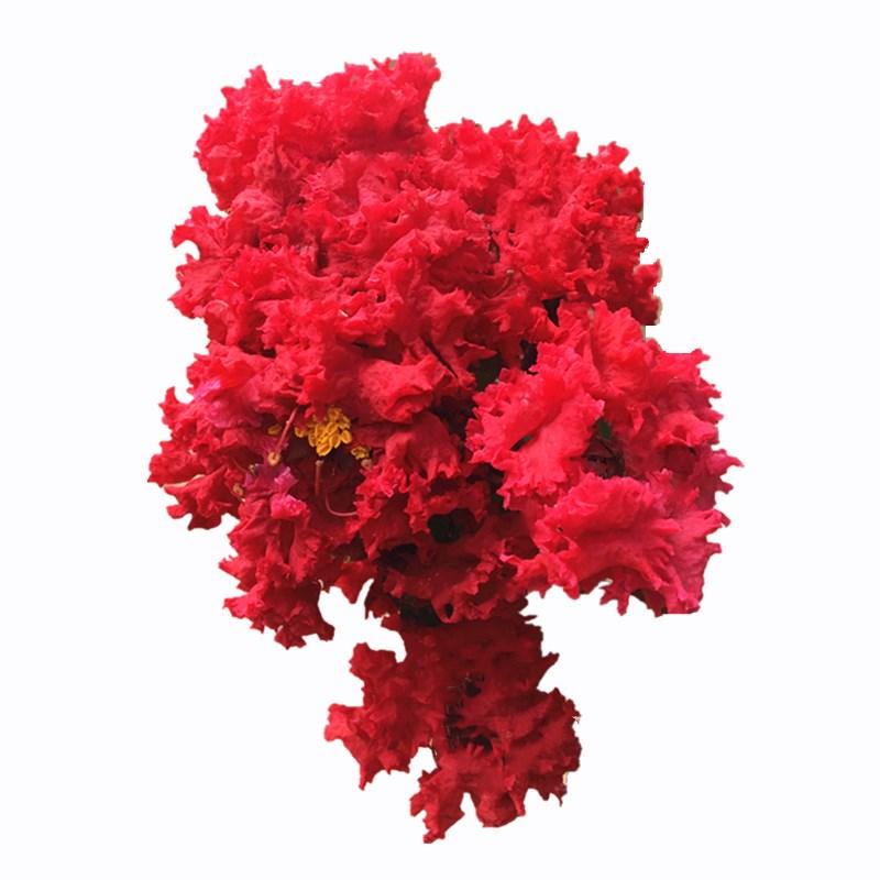 美国红火箭紫薇苗包对版火箭红户外红花紫薇树苗庭院别墅盆栽地栽