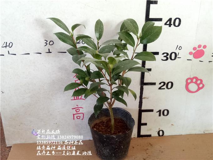 纯色青叶贝拉 贝拉大玫瑰山茶之都七仙女花蝴蝶等各种图片
