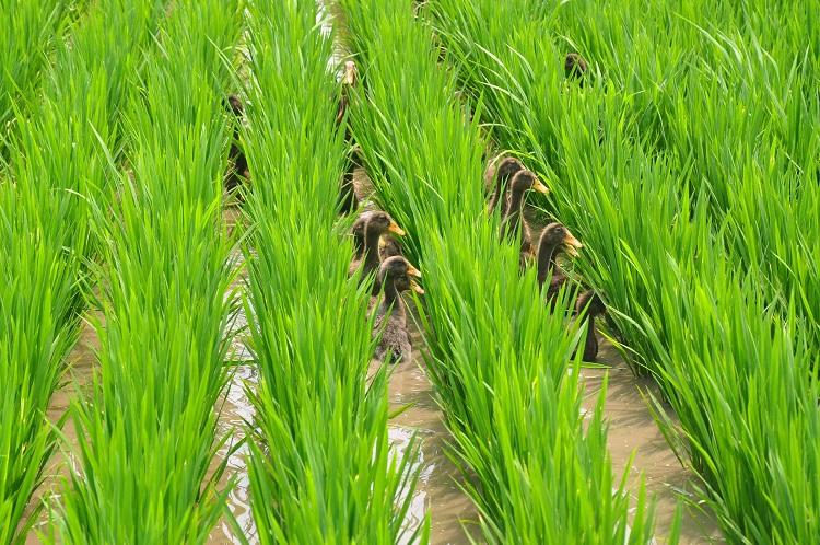鸭稻生态种植方式\ 鸭稻田是指种植和养殖相结合的生态农业图片