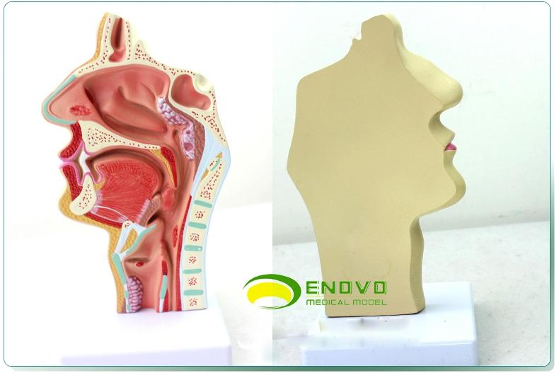 O正品人体鼻腔咽喉解剖模型鼻咽腔病理模型耳鼻喉科医学模型