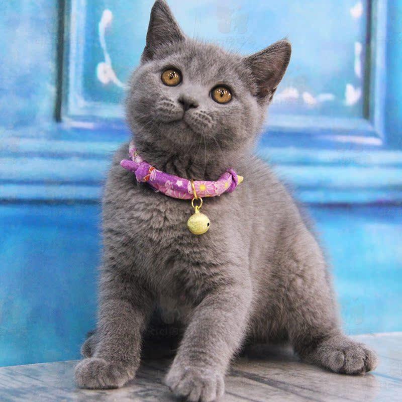 上海出售英短蓝猫 大包子脸 英国短毛猫 全国发货 疫苗齐全蓝猫_7折