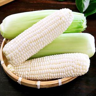 玉米新鲜糯玉米水果甜玉米牛奶鲜玉米现摘当季带皮嫩玉米7根包邮
