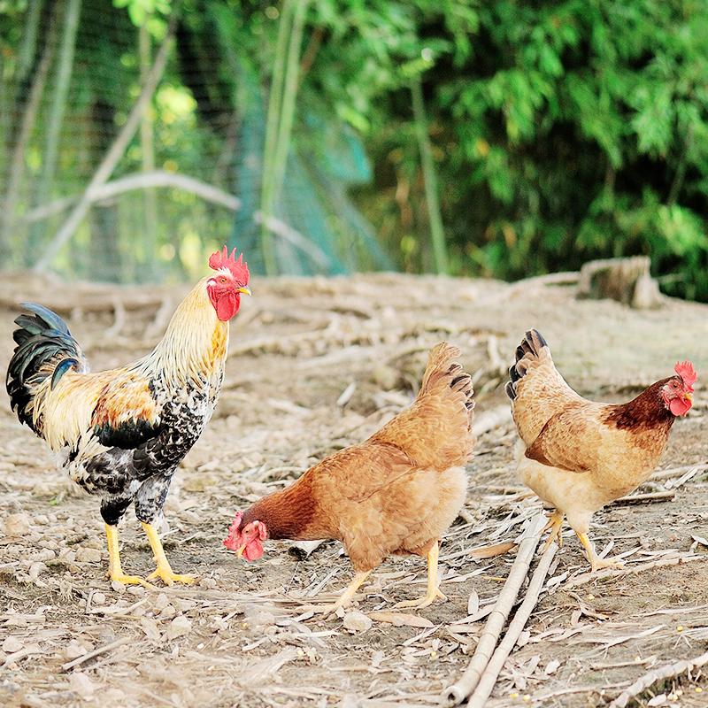 正宗土鸡2年老母鸡农家散养鸡家养鸡草鸡走地鸡笨鸡柴鸡月子鸡