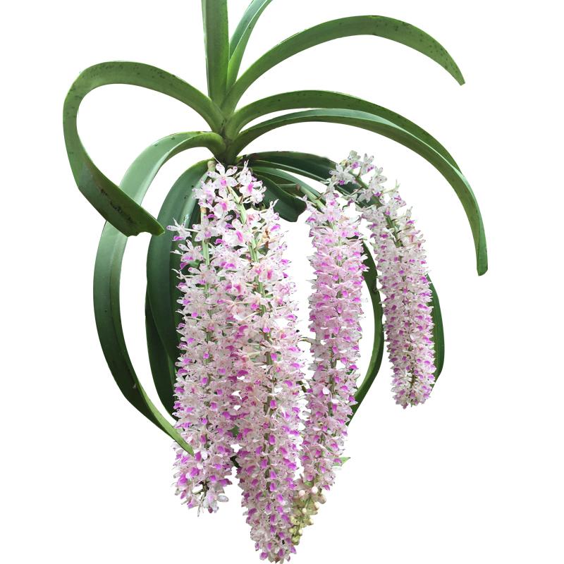 央视采访铁皮石斛苗花卉盆栽霍山种源米斛可做鲜条枫斗吊兰花绿植