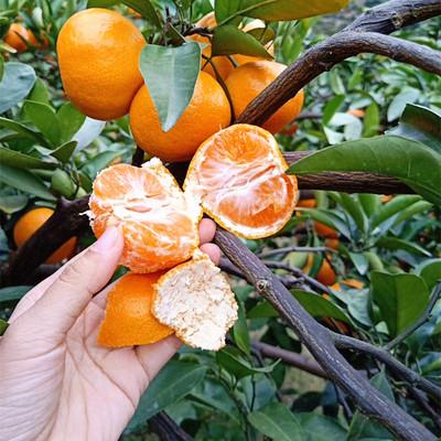 特甜正宗临海涌泉蜜桔宫川橘子新鲜水果当季桔子黄岩蜜橘10斤包邮