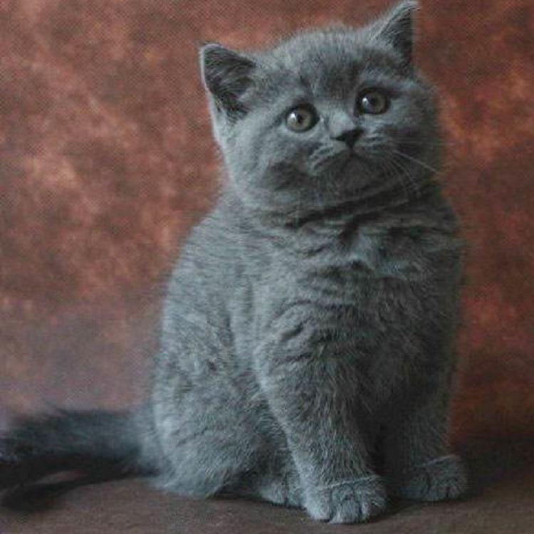蓝猫纯种蓝猫活体宠物猫 英国纯蓝短毛猫 英短折耳猫公母幼猫_7折现价