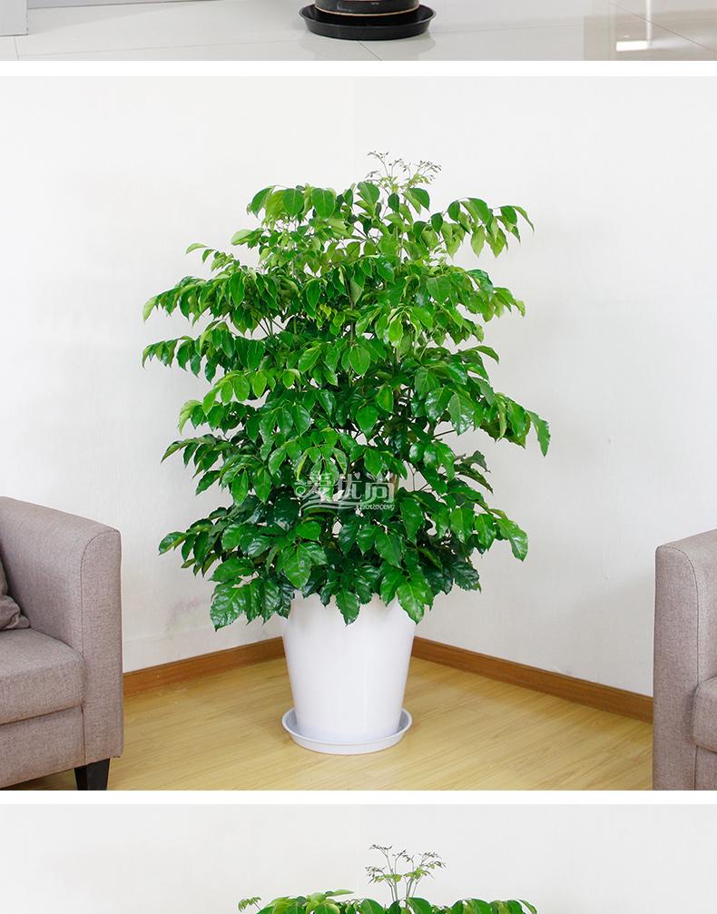爱优尚幸福树绿宝大型办公室花卉室内植物盆栽净化空气吸甲醛绿植