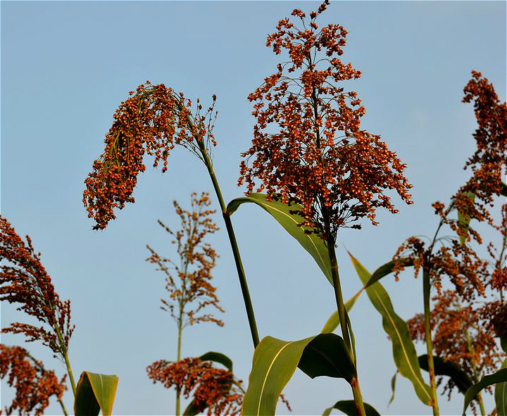 Farmhouse Red Sorghum
