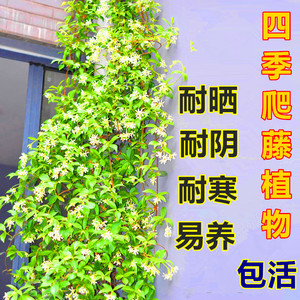 耐寒银丝造型防辐射盆栽万字金丝植物爬藤花卉四季风车茉莉花苗