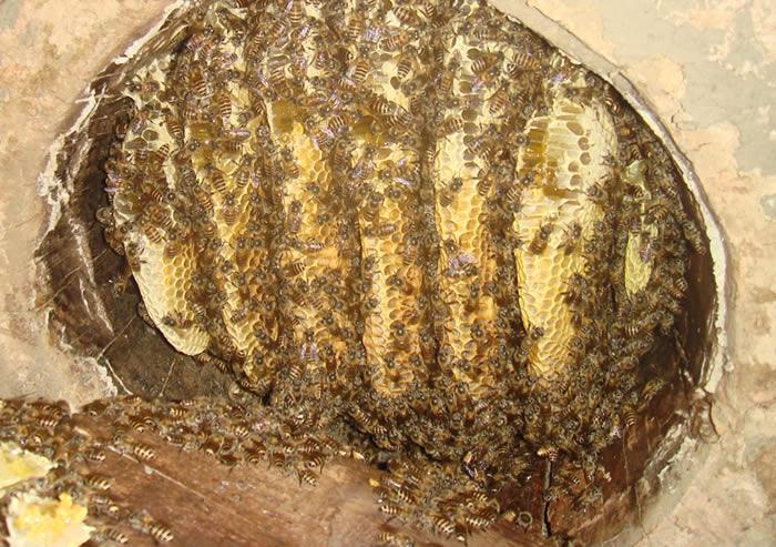 来看看我们的土蜂吧 ,土蜂的个头比洋蜂的个头小很多,但采出的蜜的