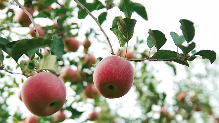 一颗可以溯源的阿克苏苹果
