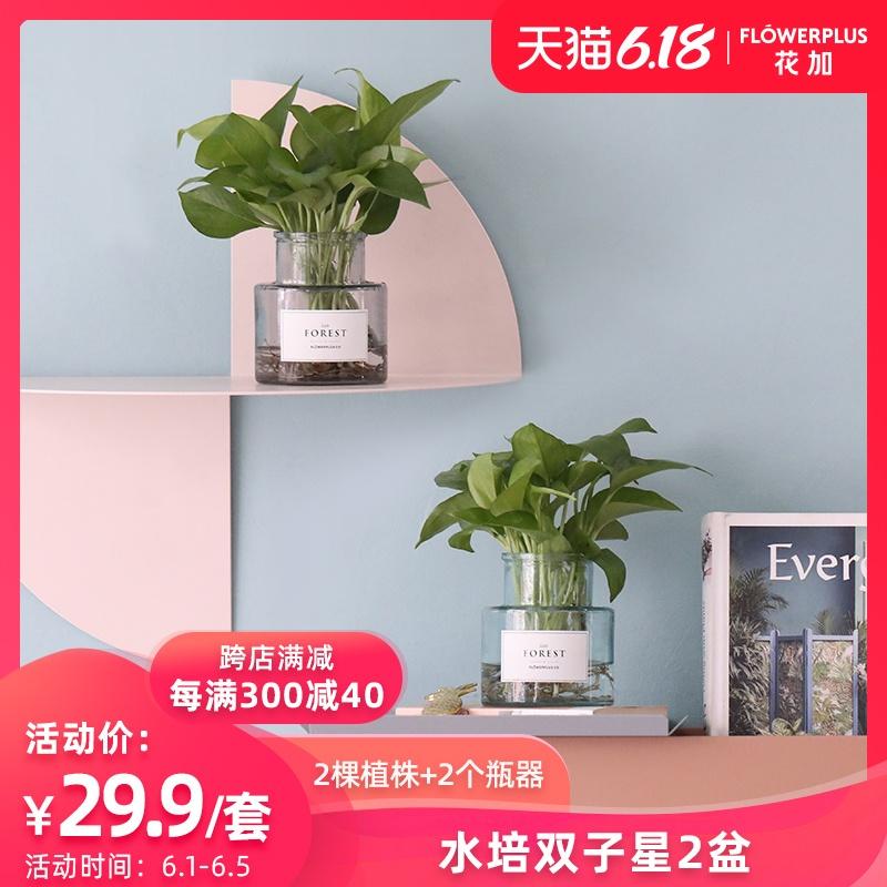 FlowerPlus花加双子星水培绿萝绿植吸甲醛净化空气包邮