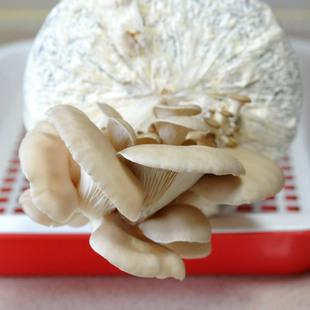 居天然金针菇农场家庭三种菌菇v天然装菌菇包平菇菌包阳台蘑菇食谱有催奶香菇可以什么图片
