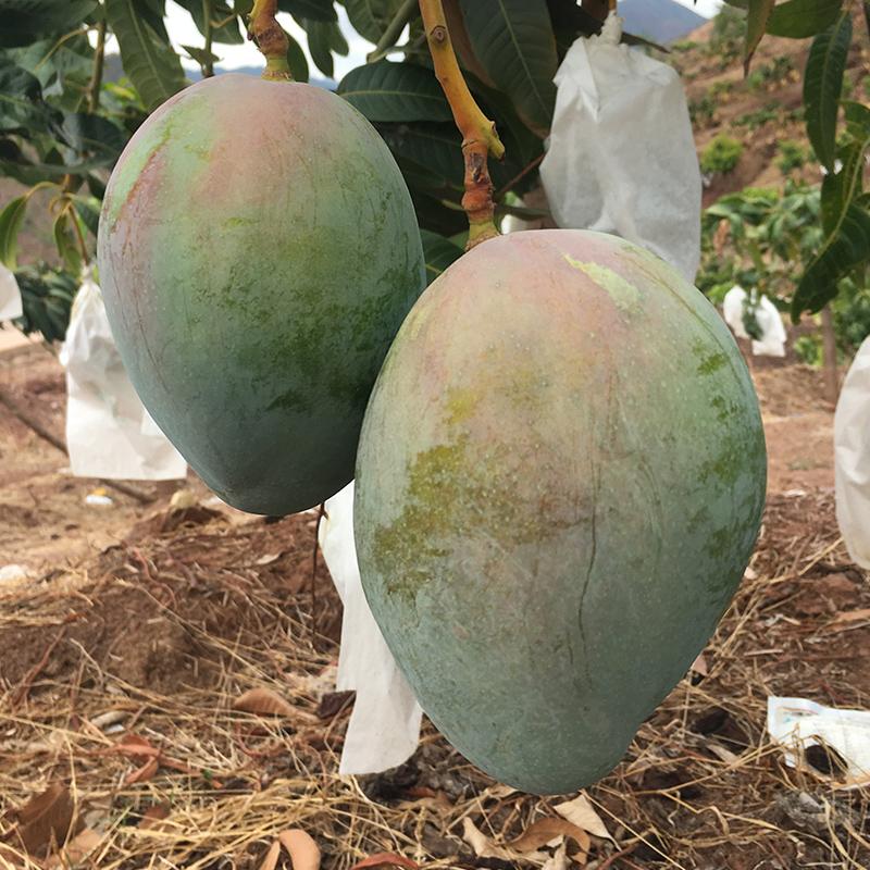 买1送1】云南芒果两件合发9斤净果 新鲜热带水果青皮芒果 需催熟
