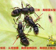 Муравей Ant world Pachycondyla Rufipes