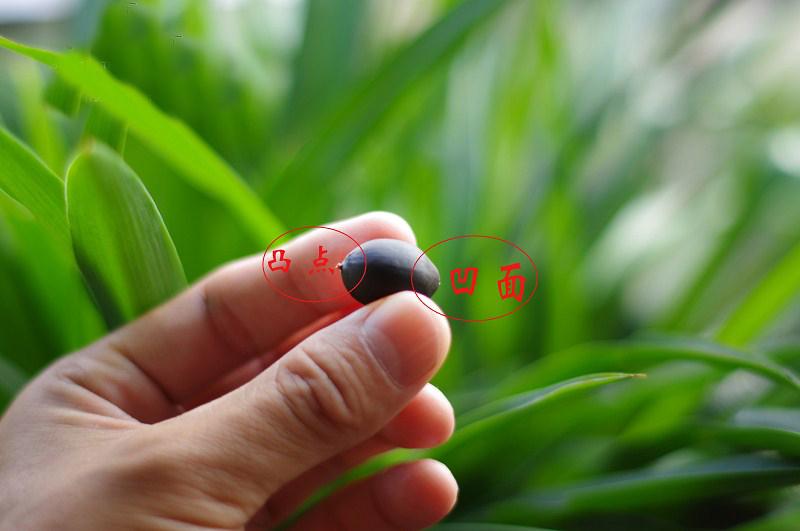 这是种子与莲蓬连接的地方,也是胚芽长出的方向,种子破口就是这个部位