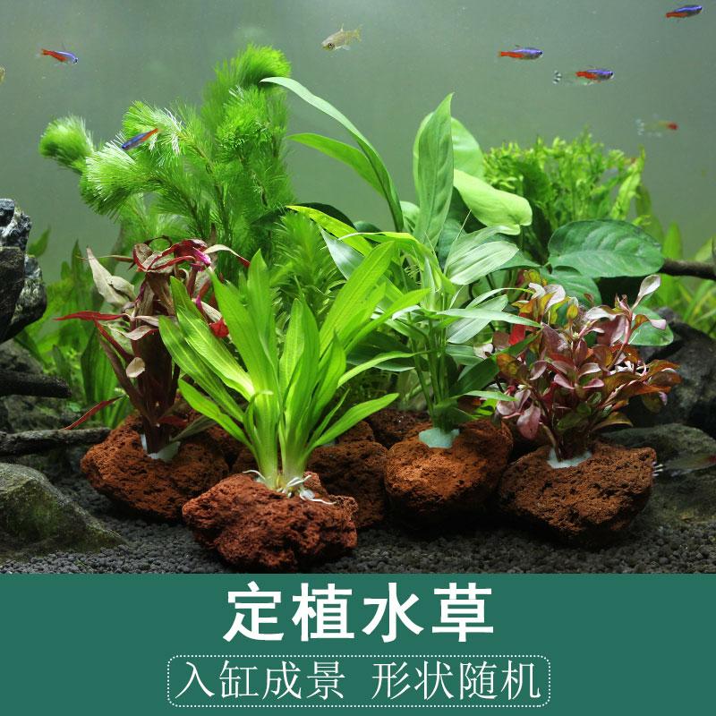 鱼缸水草造景懒人火山石多孔石定植活体淡水植物水榕沉木水族箱