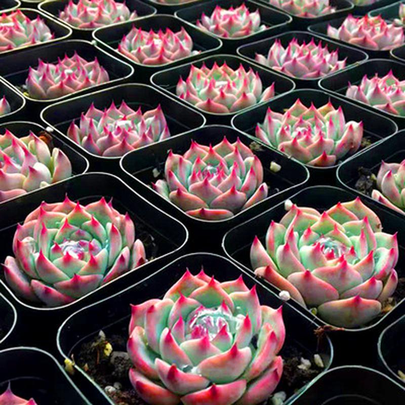 多肉植物吉娃娃水蜜桃新款玉露稀有贵货粉玫瑰花卉室内超萌大盆栽
