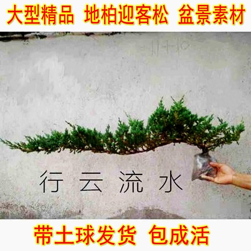 地柏迎客松盆景盆栽造型树苗素材庭院室内花卉植物老桩悬崖松真树