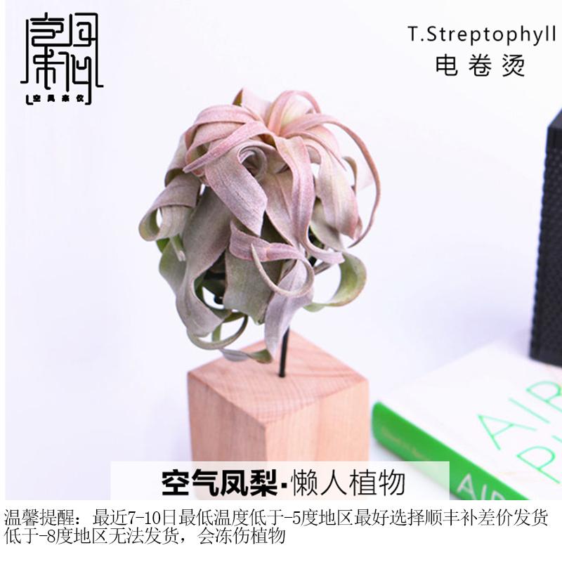 空气凤梨扭叶铁兰电卷烫无土植物室内客厅盆栽绿植花卉空凤来仪