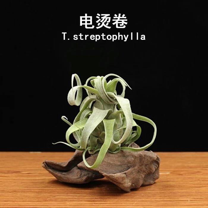 空气凤梨电烫卷 超级卷 无土植物空凤扭叶铁栏懒人绿植
