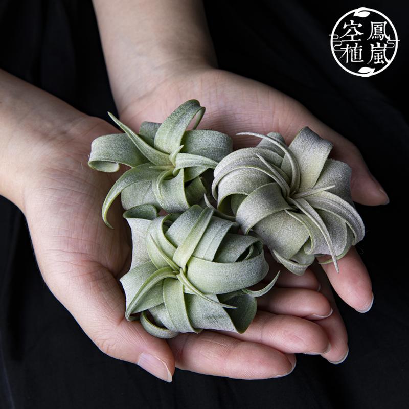 空气凤梨 墨西哥电烫卷 宽叶卷超级二次卷 超美仙卷 无土植物包邮