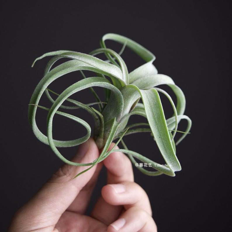 空气凤梨花卷T.CurlySlim花中花X电烫卷无土植物室内客厅易活绿植