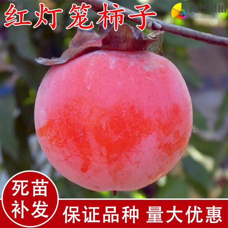 红灯笼柿子树苗-嫁接果树苗盆栽地栽南方北方种植庭院养护抗严寒